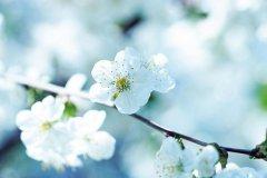 关于梨花的唯美句子 赞美梨花的句子大全
