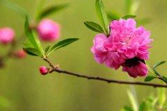 描写桃花的优美语段 描写春天桃花盛开的句子