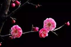 描写杏花的诗句 描写杏花的优美诗句