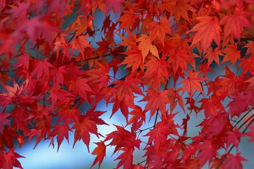 枫树的叶子像什么比喻句 枫树叶子像什么二年级
