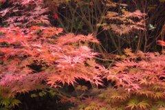 枫树的叶子像什么比喻 枫树什么像什么比喻句