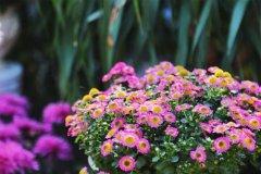 菊花像什么-描写菊花像什么的比喻句