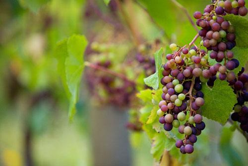 葡萄像什么比喻句-形容葡萄的比喻句
