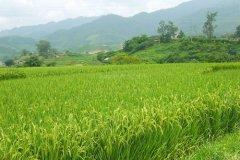 稻谷像什么比喻句-稻谷沉甸甸的像什么比喻