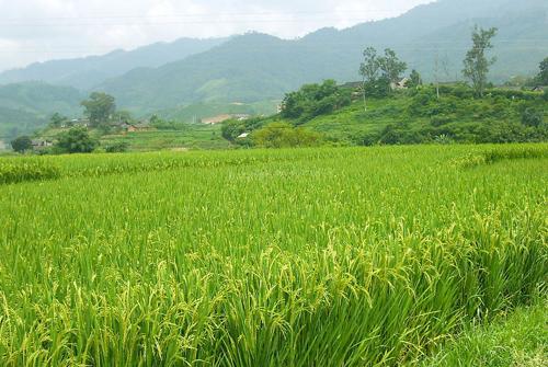 稻谷像什么比喻句-稻谷沉甸甸的像什么比喻句